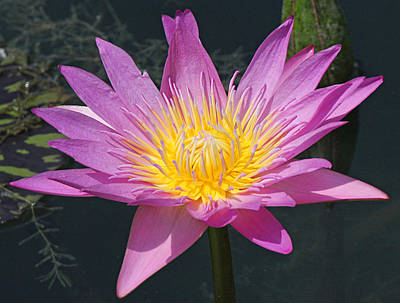 Photograph - Beautiful Water Lily by Becky Lodes