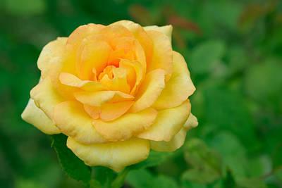 Beautiful Yellow Rose Print by Atiketta Sangasaeng