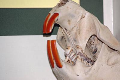 Beaver Teeth Print by LeeAnn McLaneGoetz McLaneGoetzStudioLLCcom