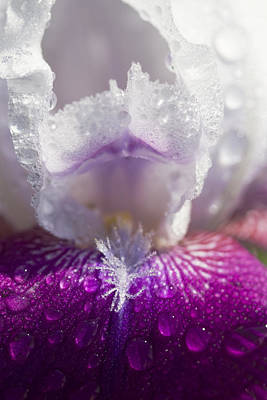 Bedazzled Purple And White Iris Print by Kathy Clark