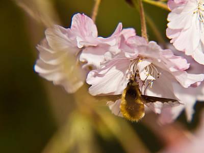 Bee Fly Feeding 1 Print by Douglas Barnett
