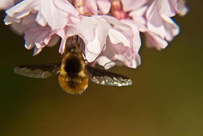 Bee Fly Feeding 5 Print by Douglas Barnett