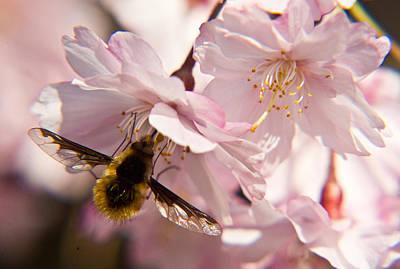 Bee Fly Feeding 6 Print by Douglas Barnett