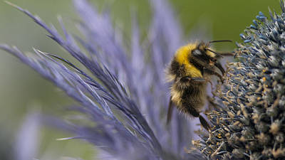 Bee On A Scottish Thistle Print by Zoe Ferrie