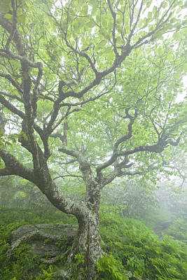 Beech At Craggy Print by Rob Travis