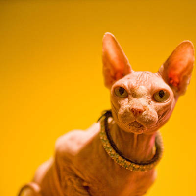 Hairless Cat Photograph - Bejeweled by Laura S. Kicey