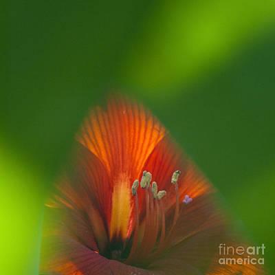 Belladonna Lily Closeup Print by Heiko Koehrer-Wagner