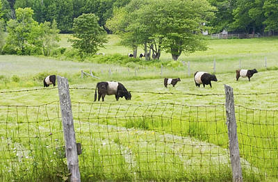 Maine Farms Photograph - Belted Galloway Cows On  Farm Rockport Maine Photo by Keith Webber Jr