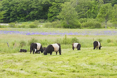 Maine Meadow Photograph - Belted Galloway Cows Pasture Rockport Maine Photograph by Keith Webber Jr
