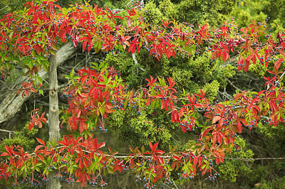 Berries Grow On Leaves Print by Ralph Lee Hopkins