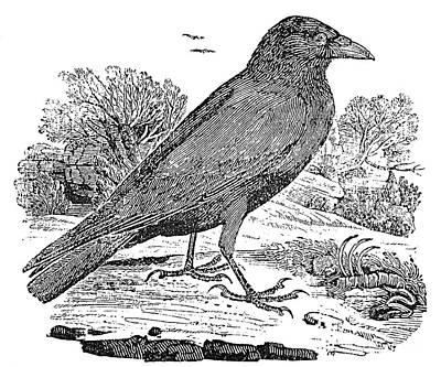 Bewick: Raven Print by Granger