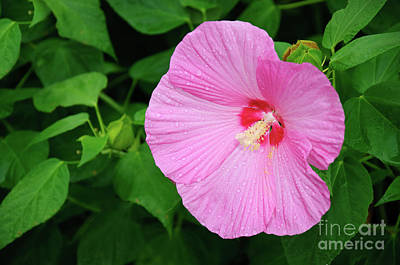Memorial Garden Photograph - Big Bold Pink Beauty by Andee Design