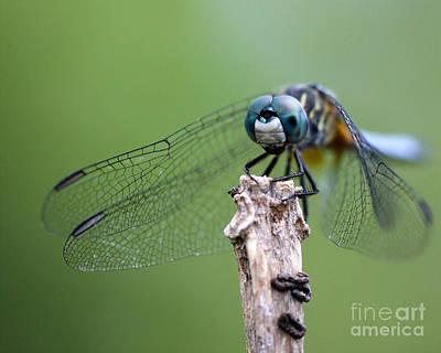 Treasure Coast Photograph - Big Eyes Blue Dragonfly by Sabrina L Ryan