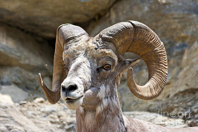 Ram Horn Photograph - Big Horn Sheep by Scotts Scapes