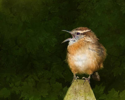 Wren Photograph - Big Mouth  by Steven Richardson