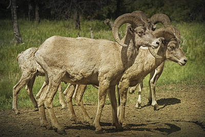 Ram Horn Photograph - Bighorn Sheep Along A Roadside In The Black Hills by Randall Nyhof