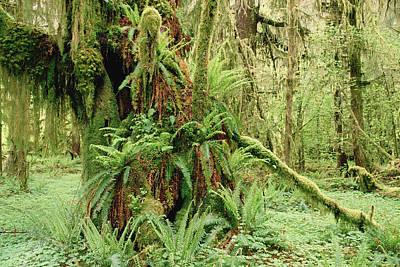 Bigleaf Maple Acer Macrophyllum Trees Print by Gerry Ellis