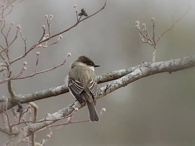 Bird - Eastern Phoebe - Very Contented Print by Travis Truelove