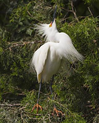 Bird Mating Display - Snowy Egret  Print by Bill Swindaman
