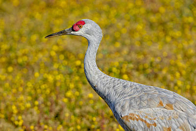 Birds Of Bc - No. 35 - Young Sand Hill Crane Print by Paul W Sharpe Aka Wizard of Wonders