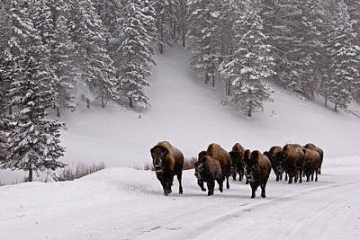 Bison In Winter Print by DBushue Photography