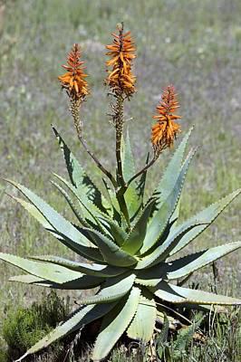 Bitter Aloe (aloe Ferox) Print by Bob Gibbons