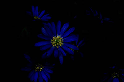 Black And Blue Print by Travis Crockart