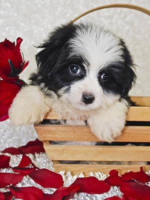 Havanese Photograph - Black And White Havanese Puppy by StockImage