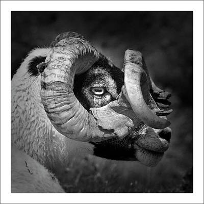 Black And White Image Of Ram Print by Colin Campbell