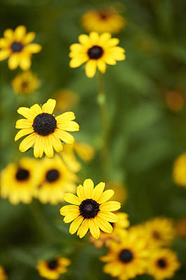 Y120907 Photograph - Black-eyed Susan Flowers by Cameron Davidson