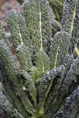 Black Kale (brassica 'nero De Toscana') Print by Maxine Adcock