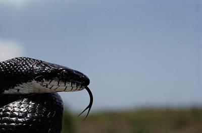 Black King Snake Lampropeltis Getulus Print by Medford Taylor