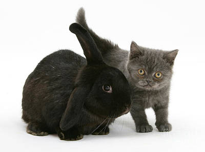 Black Rabbit And Gray Kitten Print by Mark Taylor