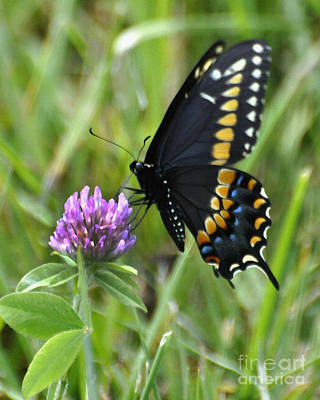 Black Swallow Tail On Clover Print by Diane E Berry