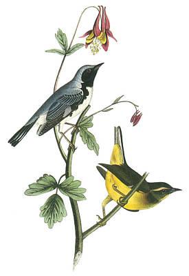 Warbler Painting - Black-throated Blue Warbler by John James Audubon