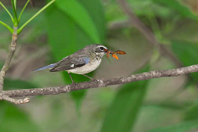 Black-throated Blue Warbler With Insect Original by Alan Lenk