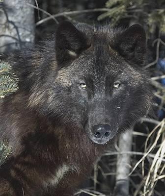 Black. Timber Wolf Photograph - Black Timber Wolf by John Pitcher
