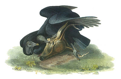 Vulture Painting - Black Vulture by John James Audubon