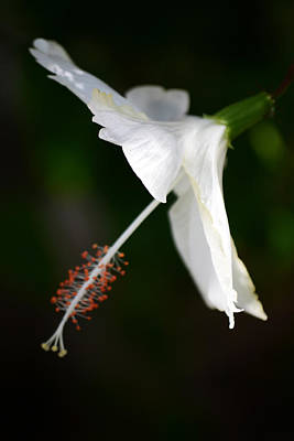 Hibiscus Photograph - Blanca Flor by Melanie Moraga