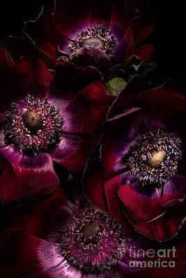 Blood Red Anemones Print by Ann Garrett