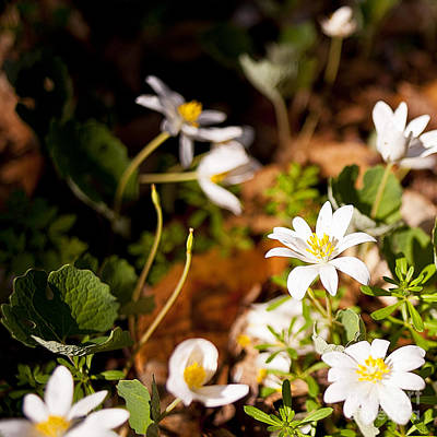 Bloodroot Photograph - Bloodroot And Spring In The Woodland by Lee Craig