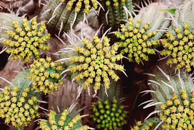 Blooming Cacti Print by Alexandra Jordankova