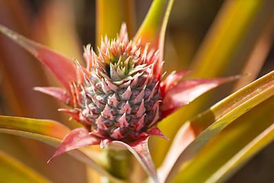 Blooming Pineapple II Print by Ron Dahlquist