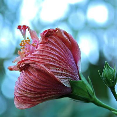 Blossoming Pink Hibiscus Flower Print by Karon Melillo DeVega
