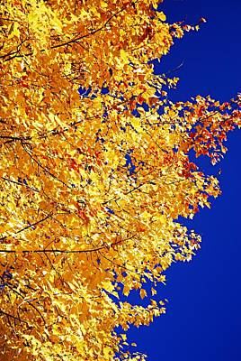 Nature Photograph - Blue And Gold by Larry Ricker