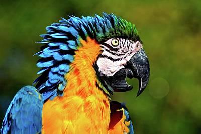 Blue And Gold Macaw Print by Hermenau