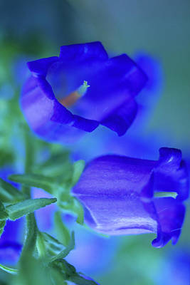 Blue Bell Flowers Print by Kathy Yates