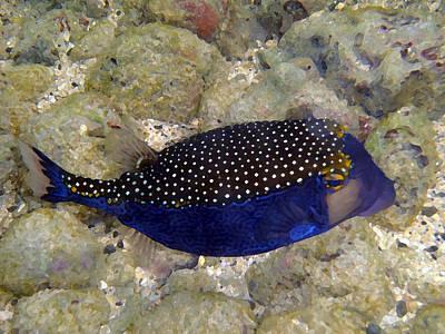 Blue Box Puffer Fish Print by Tony and Kristi Middleton