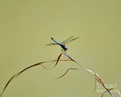 Blue Dasher Dragonfly Print by Al Powell Photography USA