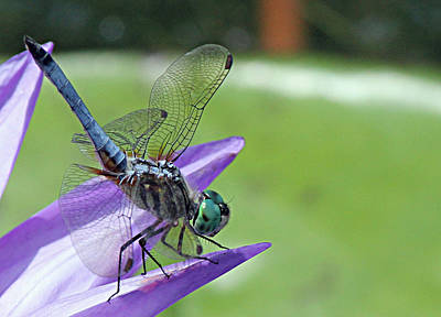Photograph - Blue Dasher Dragonfly Closeup by Becky Lodes